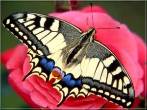 Le grand porte queue_papillon